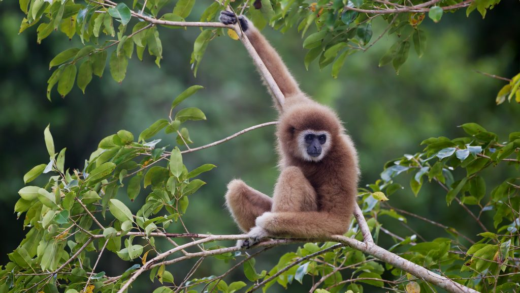 Lar gibbon, Laos. Photo by JJ Harrison, Wikimedia Commons, taken on 23 November, 2012. Licensed under CC BY 3.0.